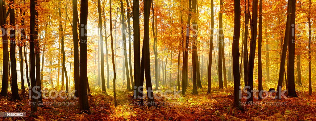 Colorful Panorama of Autumn Beech Tree Forest Illuminated by Sunlight stock photo