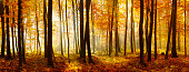 Colorful Panorama of Autumn Beech Tree Forest Illuminated by Sunlight