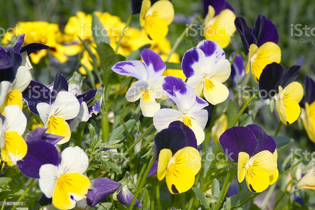 Colorful pansies royalty-free stock photo