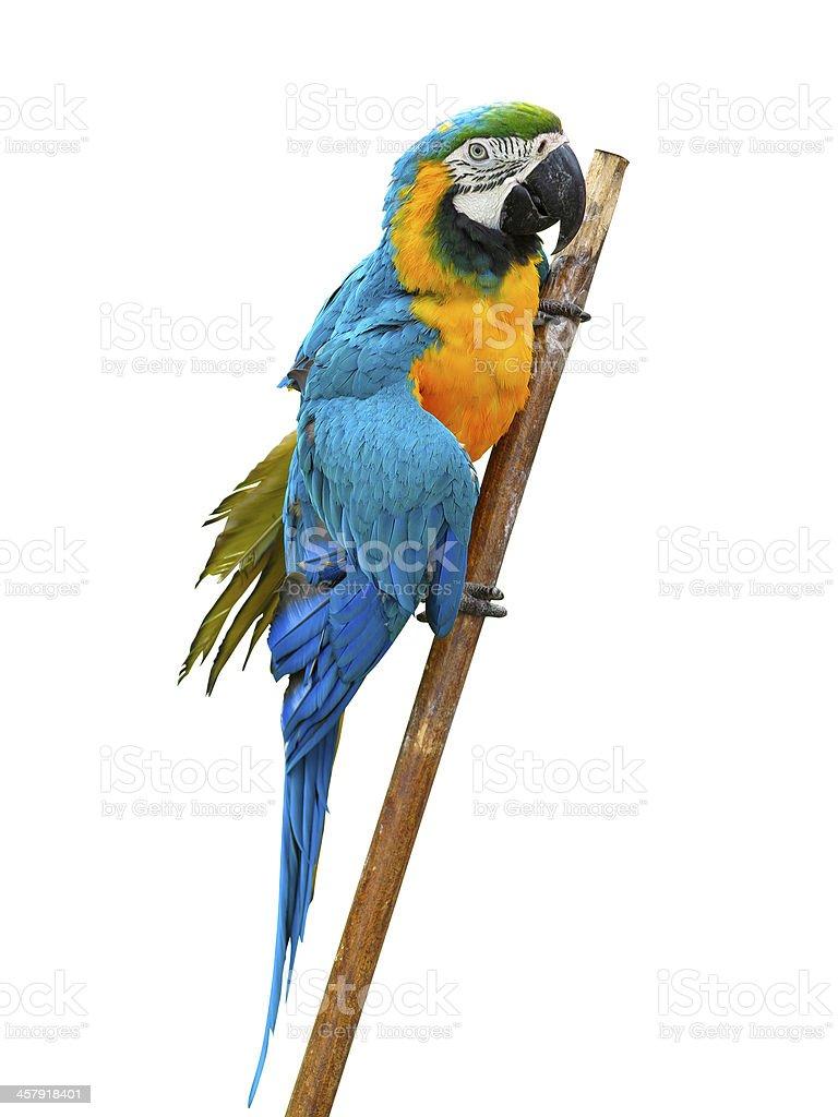 Arara Papagaio colorido, isolado no fundo branco foto de stock royalty-free
