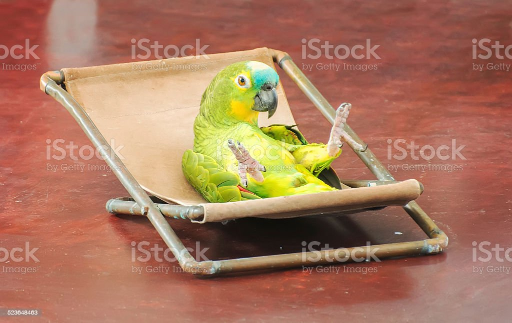 Colorful parrot performing on stage in circus. stock photo