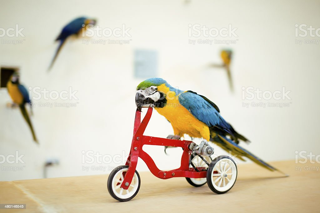 Colorful parrot riding on red bicycle stock photo