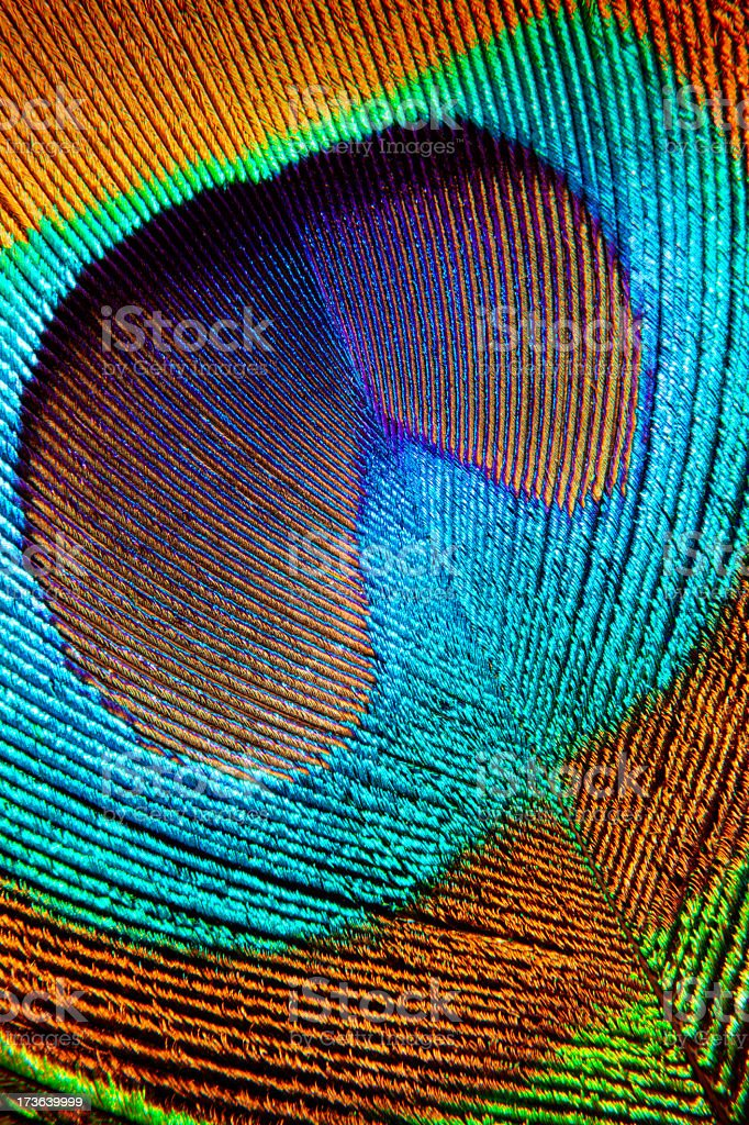 Colorful Peacock Feather stock photo
