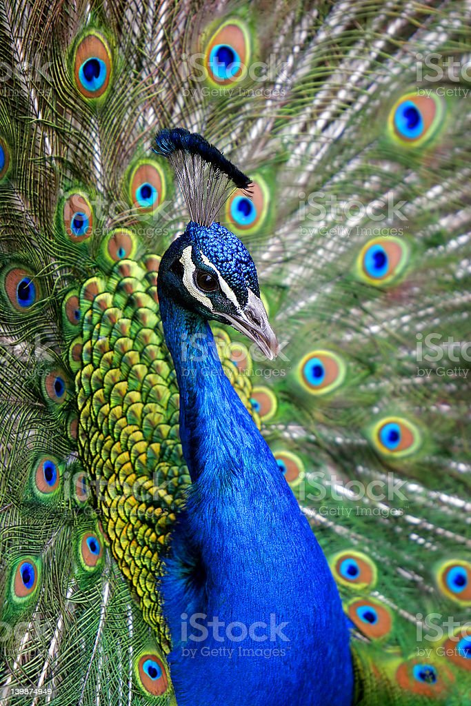 Colorful Peacock (shallow focus). stock photo
