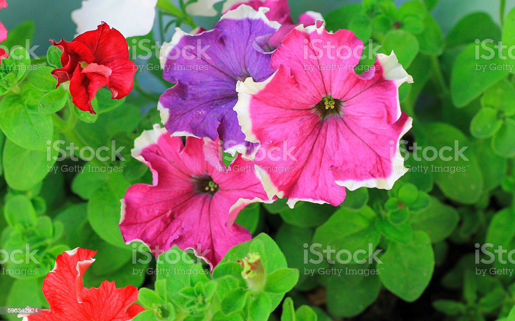 Colorful petunia flowers  blooming in the garden stock photo