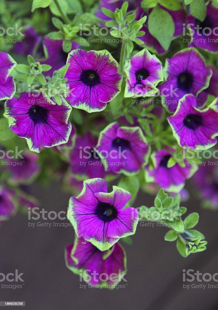 Colorful petunias royalty-free stock photo
