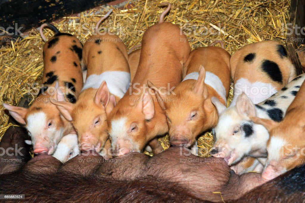 Colorful piglets diner time stock photo