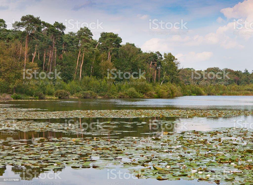 Colorful pine trees along a Dutch lake stock photo