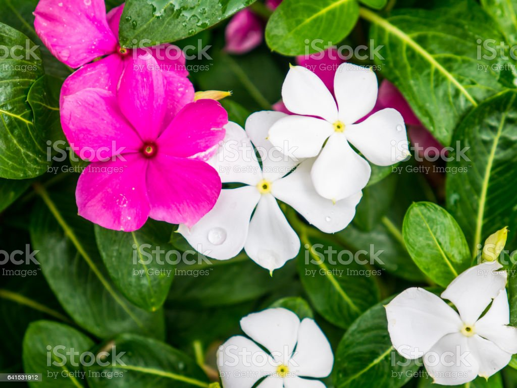 Colorful Pink and white flower on plants. clous-up shot. Frangipani flower. stock photo