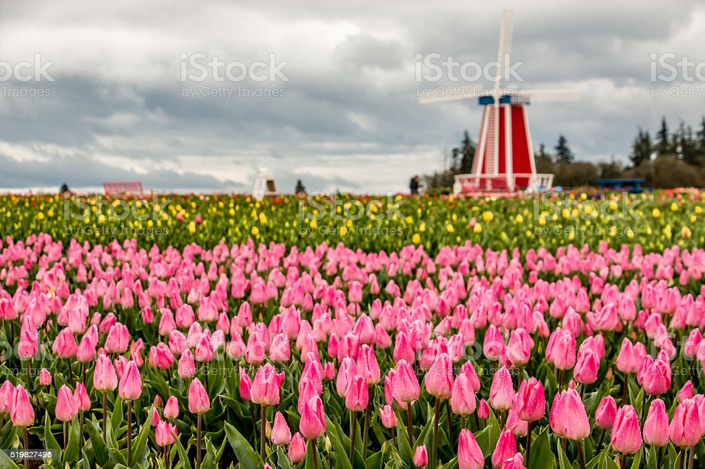 Colorful Pink  and Yellow Blooming Tulips Portland Oregon Spring Flowers stock photo