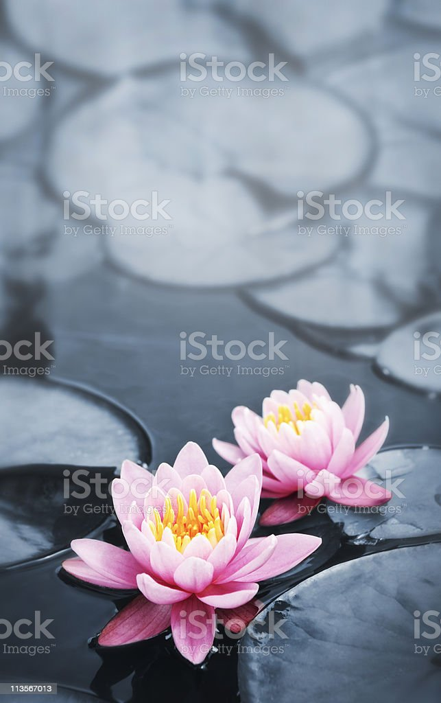 Colorful pink lotus blossoms in a pond stock photo