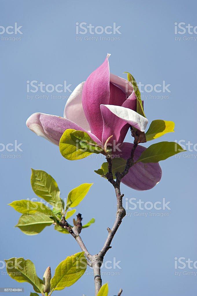 Bunte Rosa magnolie Blume. Frühling Blumen Hintergrund Lizenzfreies stock-foto