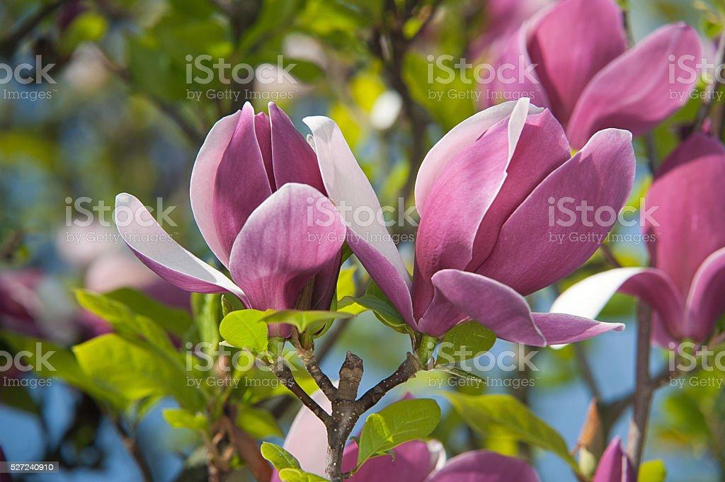Bunte Rosa magnolie Blumen. Frühling Blumen Hintergrund Lizenzfreies stock-foto