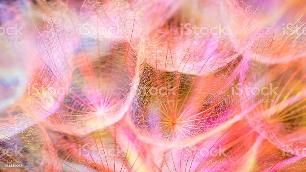 Colorful Pink Pastel Background - vivid abstract dandelion flower stock photo
