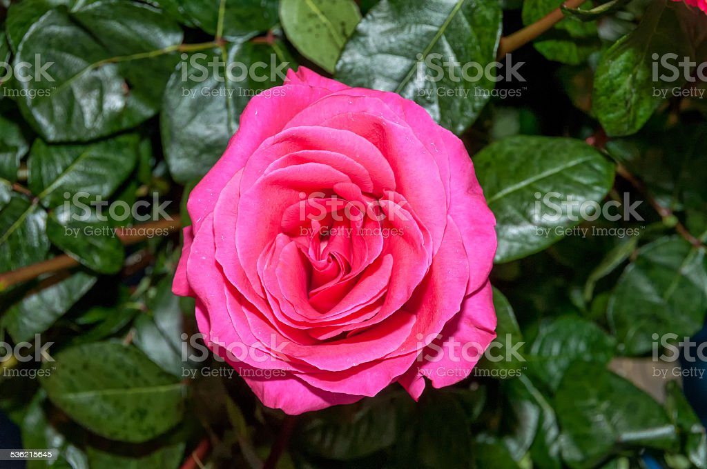 Colorful pink rose stock photo