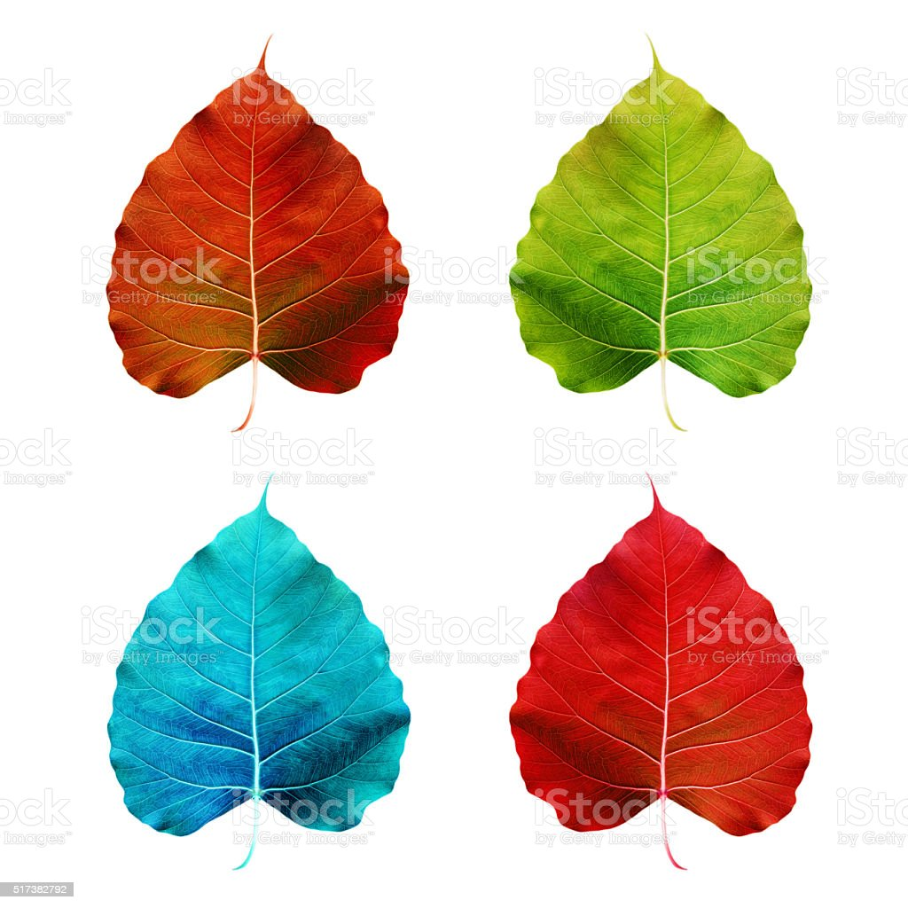 Colorful Pipal leaf, isolated on white background stock photo