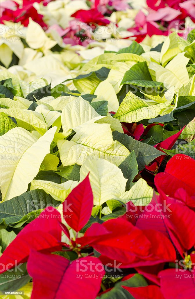 Colorful Poinsettias royalty-free stock photo