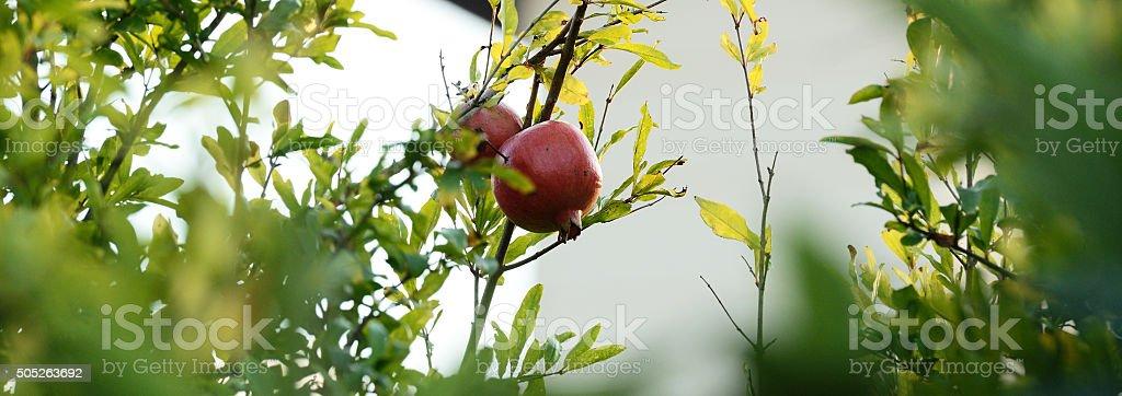 Colorful Pomegranat on a branch stock photo