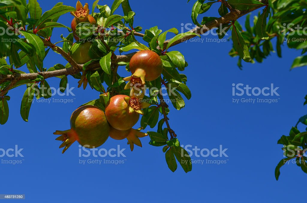 Colorful pomegranates on the tree against blue sky stock photo