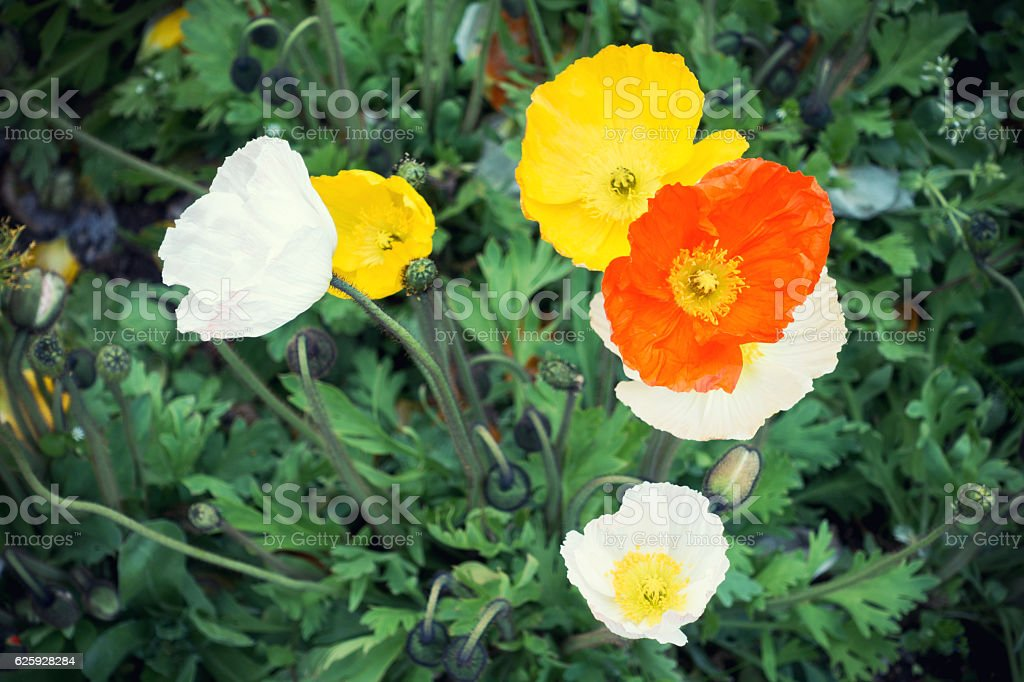 Colorful Poppies From Above stock photo