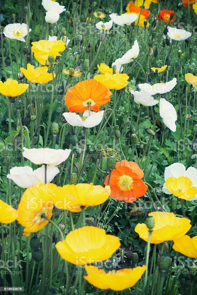 colorful poppies in the garden stock photo   istock, Beautiful flower
