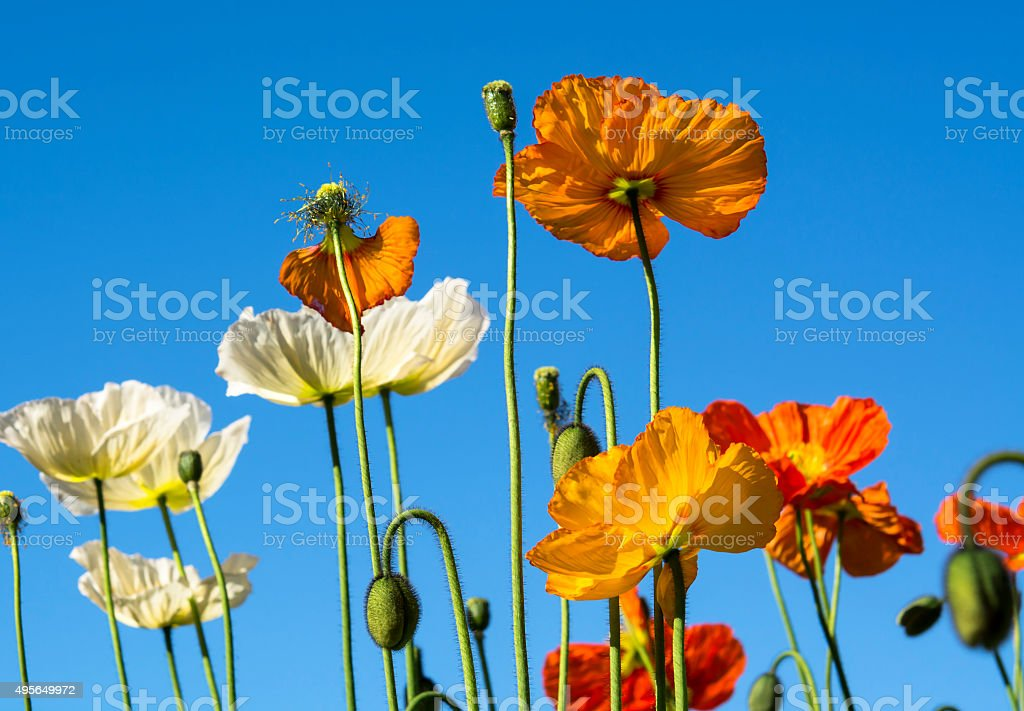 colorful poppies stock photo   istock, Beautiful flower