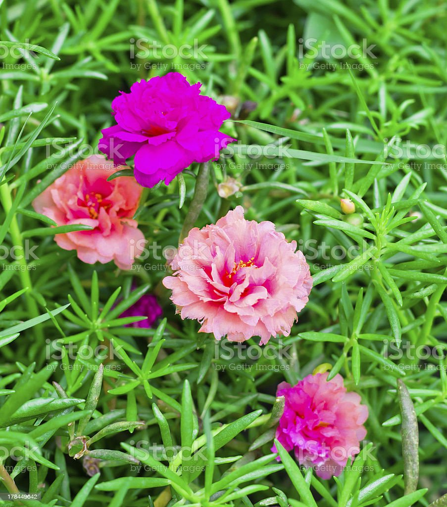 colorful portulaca flower royalty-free stock photo