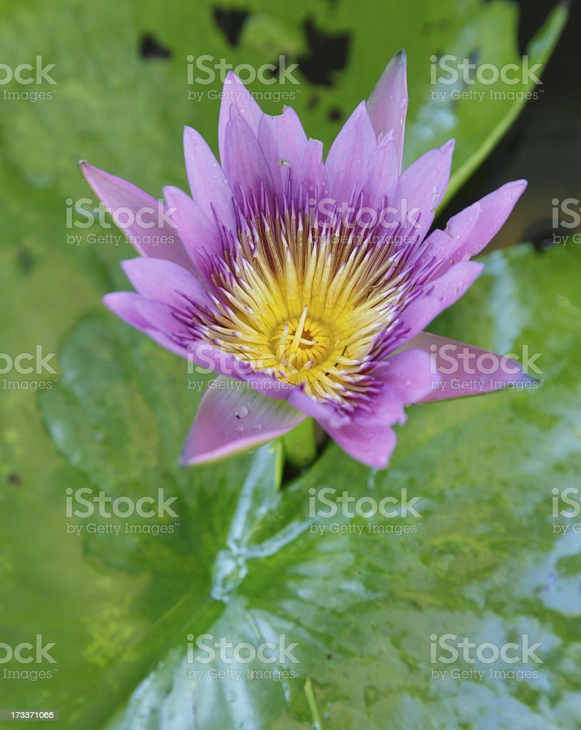 Colorful Purple lotus flower  in pond royalty-free stock photo