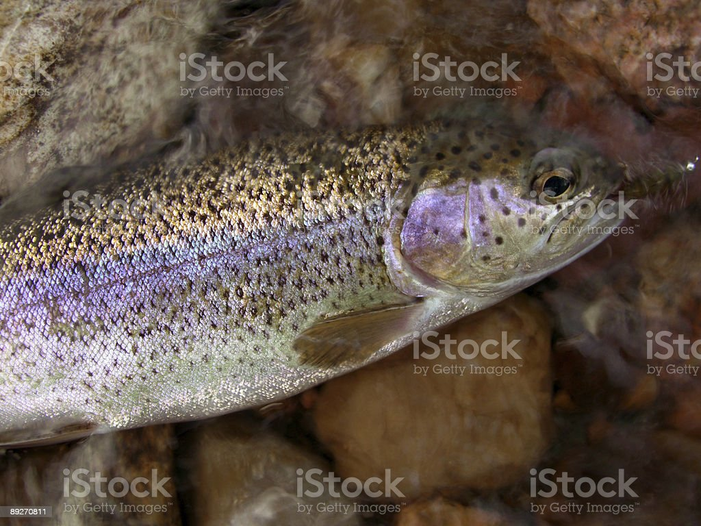 Colorful Rainbow Trout royalty-free stock photo