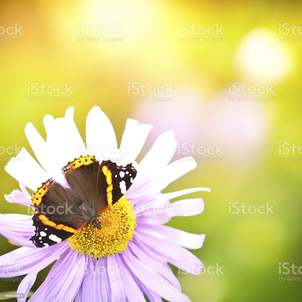 Colorful Red Admiral butterfly pollinating wildflower royalty-free stock photo