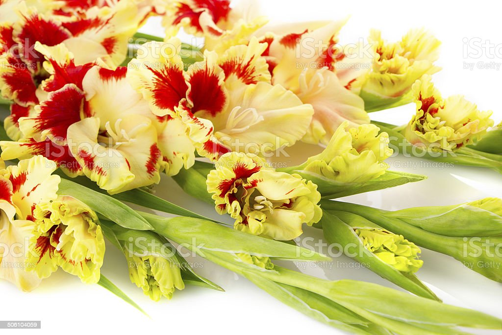 Colorful red and yellow gladiolus  horizontal royalty-free stock photo