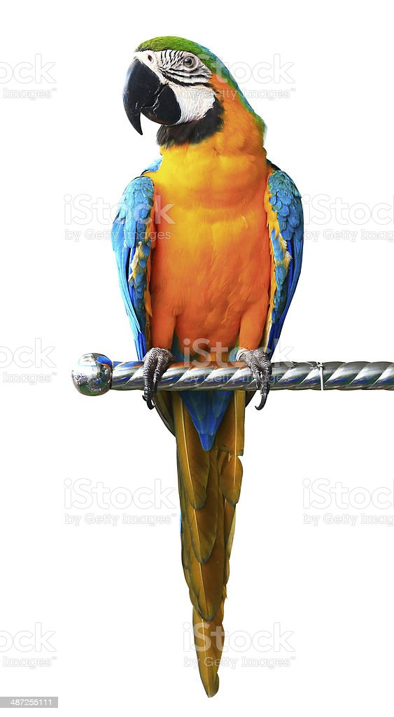 Colorful red parrot macaw isolated on white background stock photo