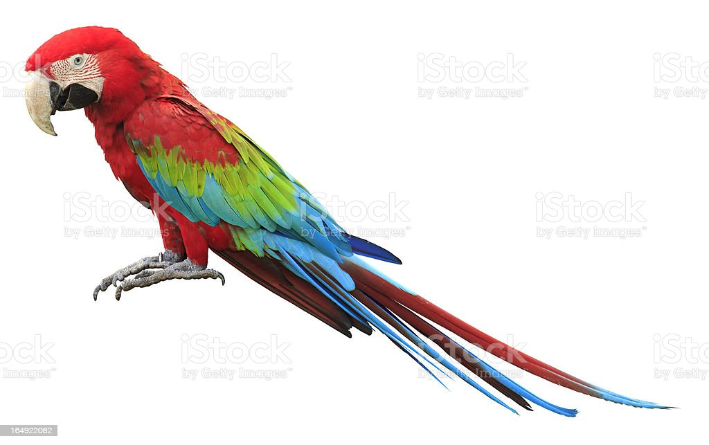 Colorful red parrot macaw stock photo