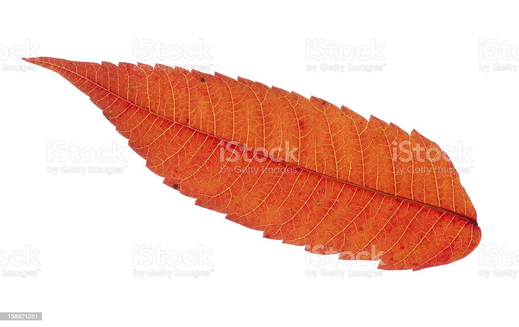 Colorful Red Sumac Leaf Isolated royalty-free stock photo
