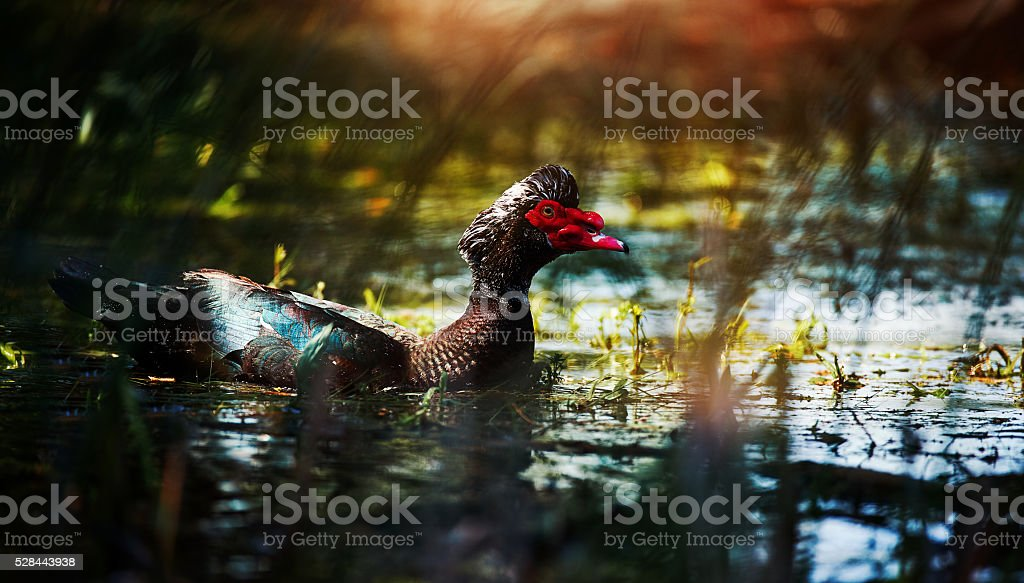 colorful Red-crested pochard stock photo