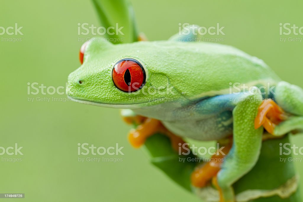 Colorful Red-eyed Tree Frog in Rainforest royalty-free stock photo