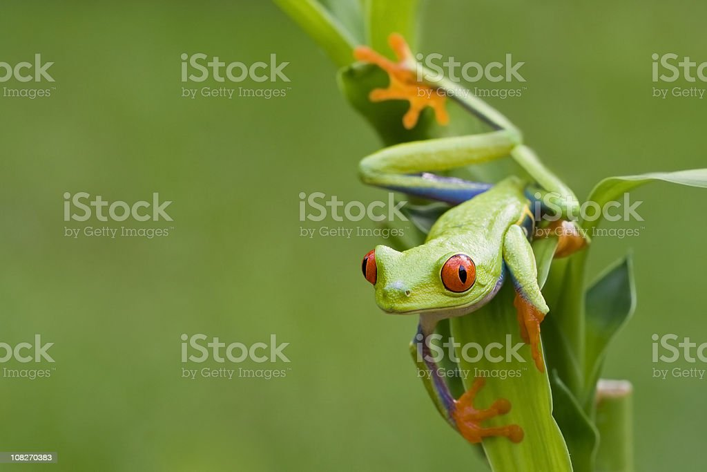 Colorful Red-eyed Tree Frog Peeping Around Background stock photo