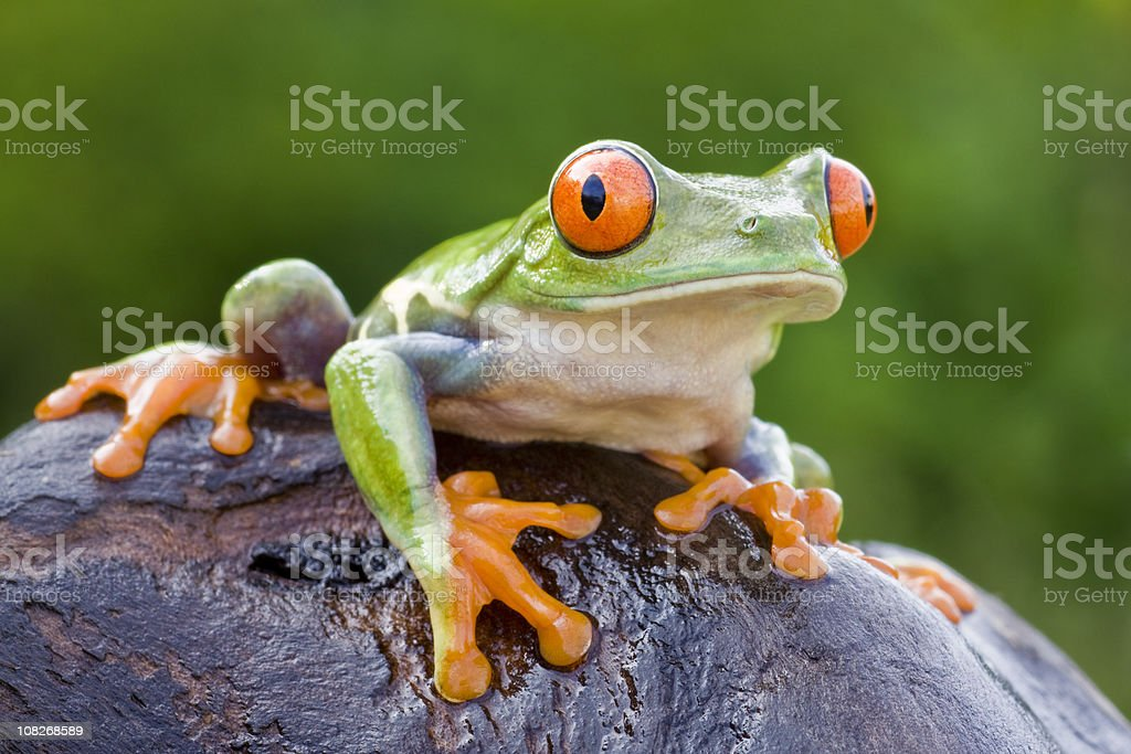 Colorful Red-eyed Tree Frog stock photo