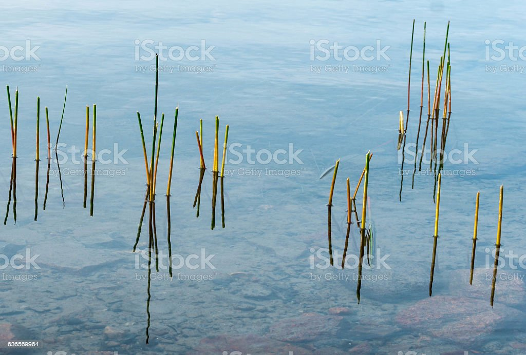 colorful reeds in a pond stock photo