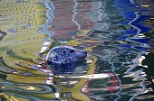 Colorful reflection broken by head of a seal