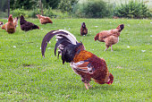 Colorful rooster and hens in a farm yard