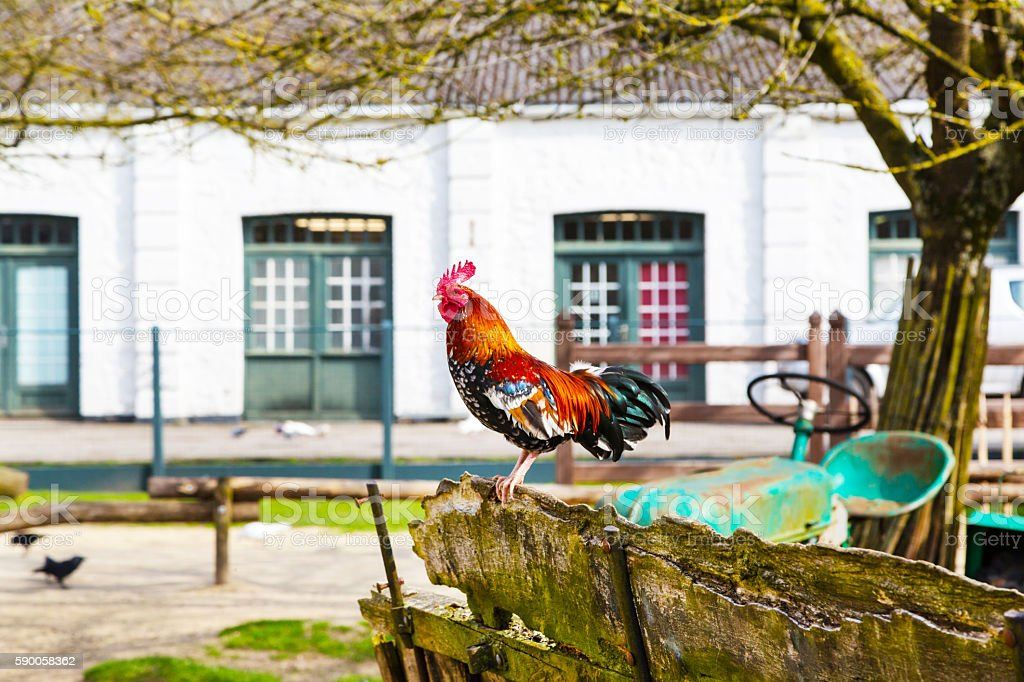 Colorful Rooster closeup in the village yard stock photo