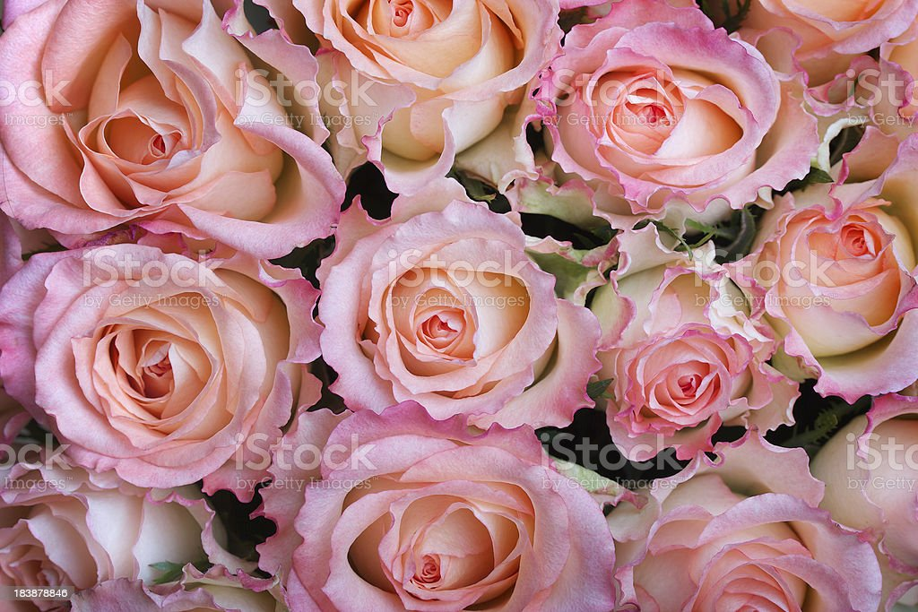Colorful rose background royalty-free stock photo