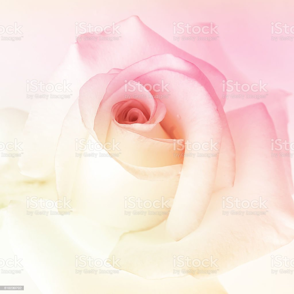 colorful rose in soft color for background stock photo