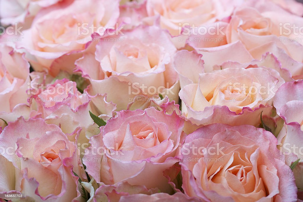 Colorful rose royalty-free stock photo