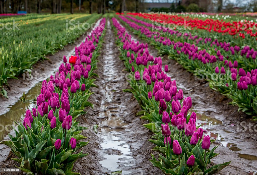 Colorful Rows Blooming Tulips Portland Oregon Farm Fields Spring Flowers stock photo
