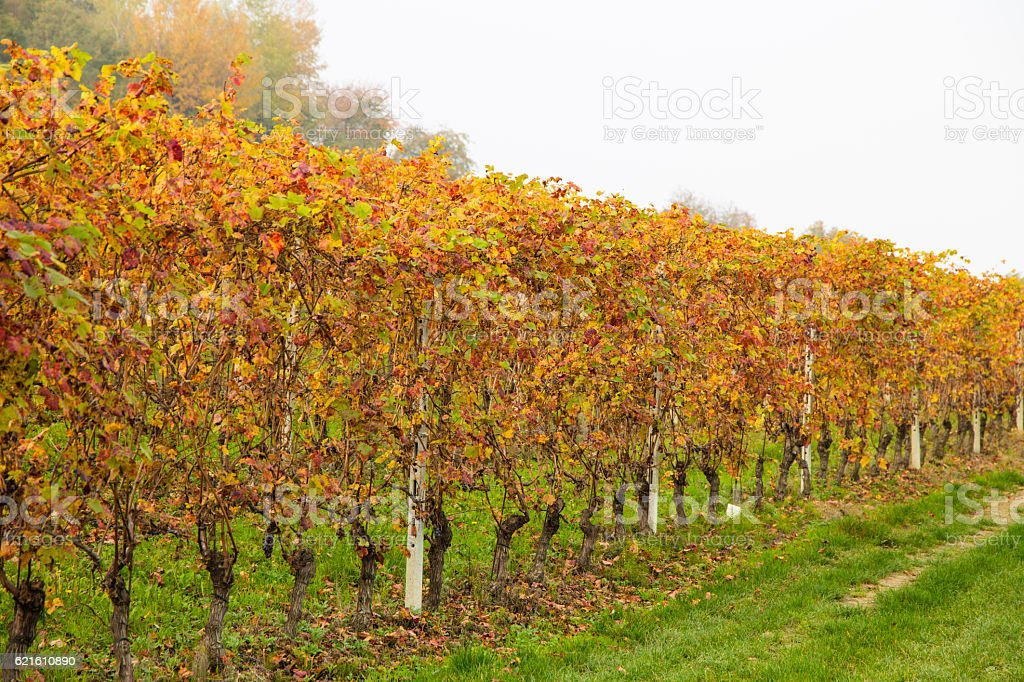 Colorful Rows of Vineyard in Wine Growing in autumn /Italy stock photo