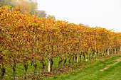 Colorful Rows of Vineyard in Wine Growing in autumn /Italy