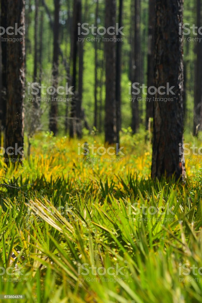 Colorful Saw Palmetto understory in pine forest stock photo