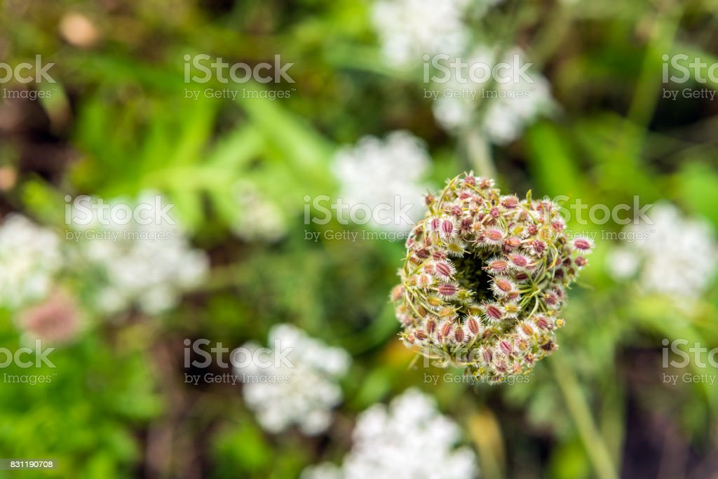 Colorful seed head of a wild carrot from close stock photo